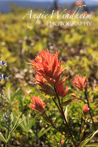 Indian Paintbrush flower found on hike to Bonney Butte, Mt. Hood.