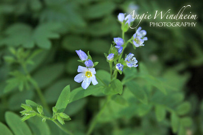 Showy Jacob's Ladder found in Bonney Meadows, Mt. Hood