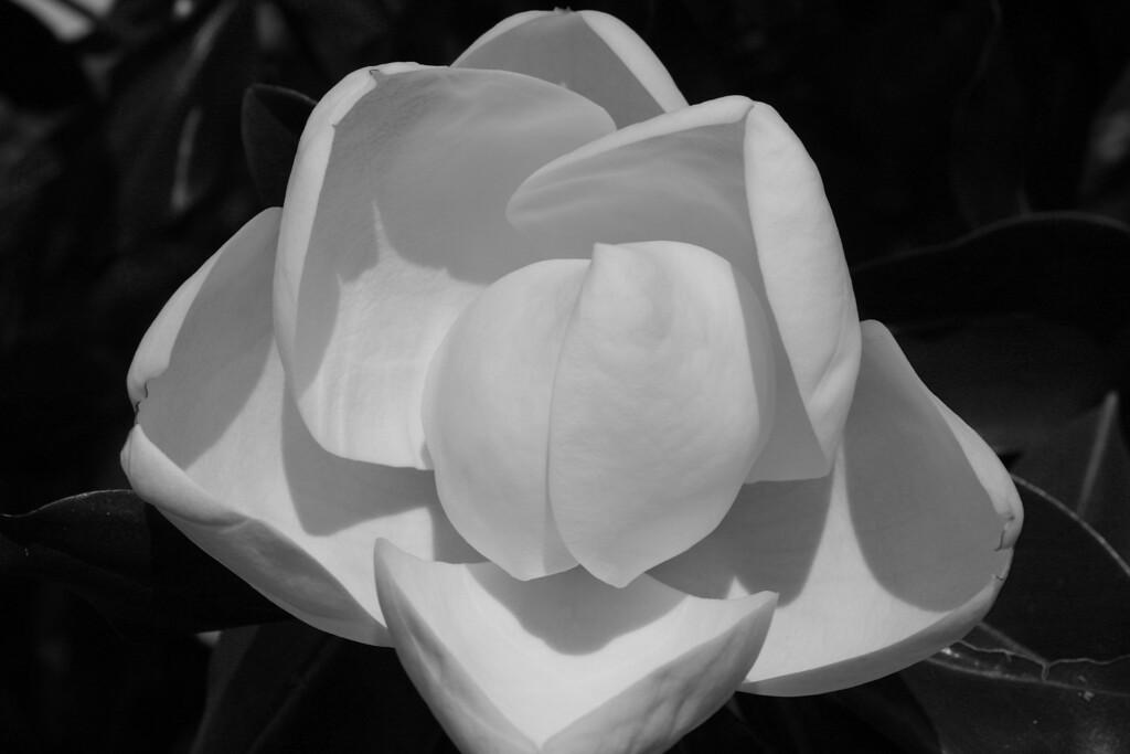 Magnolia blossom Spring TX