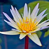 Whote and Yellow Lotus