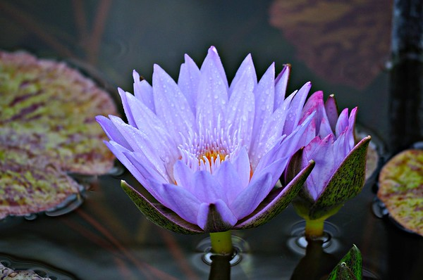 Purple Water Lotus
