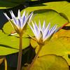 Blue Water Lotus