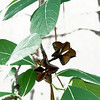 Crepe Myrtle Seed pods