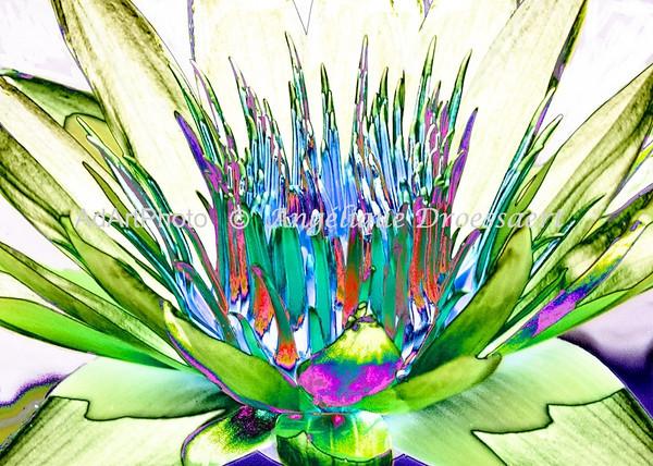 large<br /> Duke Waterlilies 103 - Version 2