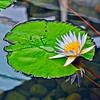 White Water Lotus