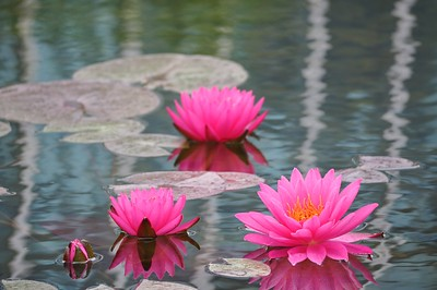 Three Pink Water Lotus