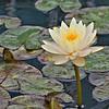 Light Yellow Water Lotus