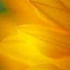 Yellow Sunflower Tip