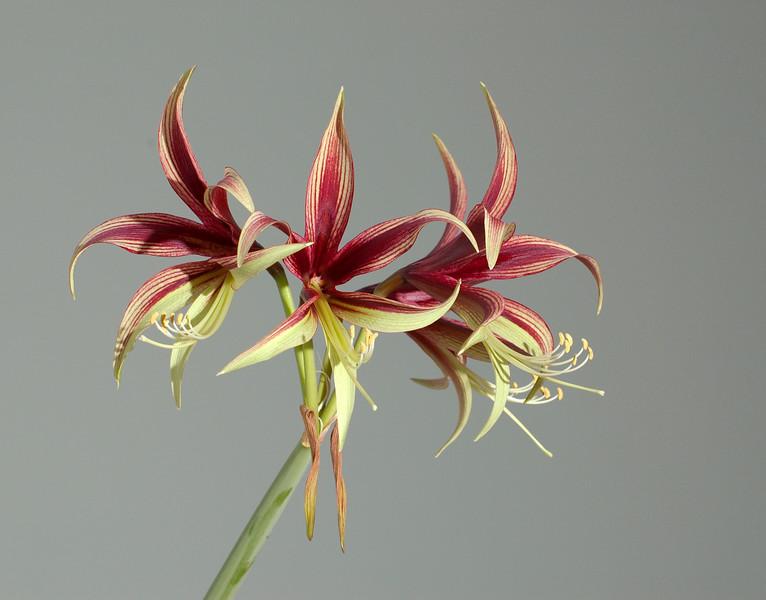 Lilies, April