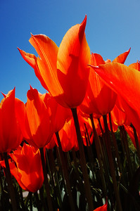 Tulips in Arran