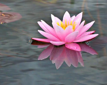 pink Water Lotus with Reflection