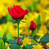 Red Rose in Yellow Flowers
