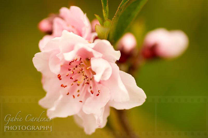 IMG_1102 Canon110224 Peach