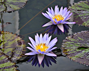 Two Purple Water Lilies