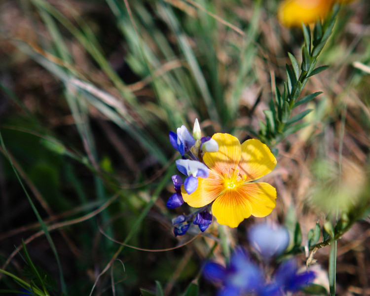Wildflowers in Goliad, TX<br /> Canon 40D, 70-200 F2.58L