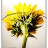 backflower