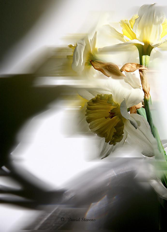 2 daffodils