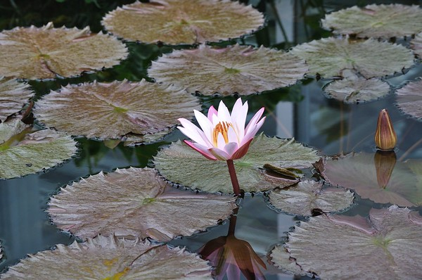 Pink and White Water Lotus