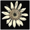 bsunflower9