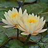 Light Yellow Water Lotus
