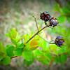 Crepe Myrtle Seeds