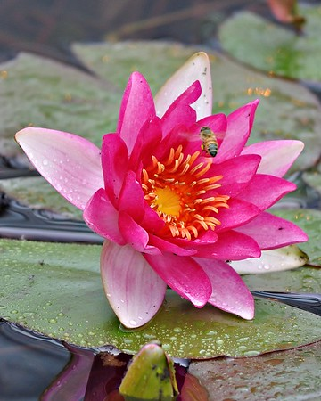 Pink Water Lotus with Bee