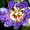 Maypop Flower
