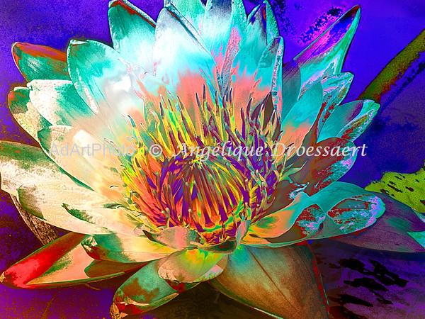 Waterlily Sarah P. Duke Gardens 14
