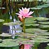 Pink Water Lotus