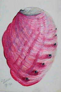 "Red Abalone 6""x9"" Colored pencil on Bee Paper"