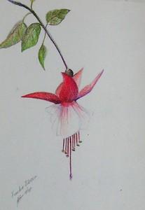 """Fuschia 6""""x9"""" Colored Pencil on Bee Paper"""