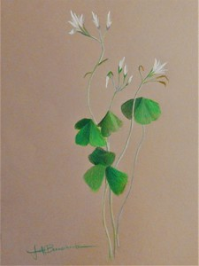"Shamrocks 14""x17"" Faber Polychromos on Bee Kona Paper demonstration for Explorations in Drawing Class Triton Museum of Art"