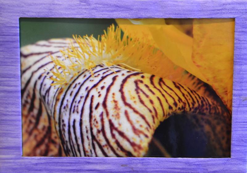 54  Iris  (left framed)