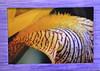 54  Iris  (right framed)
