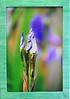 64  Spring Buds (center framed)