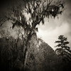 Creepy Tree<br /> -Edge of the Savannah River