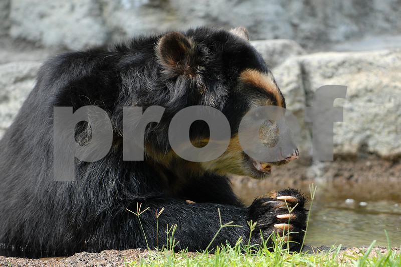 Spectacled Praying Bear