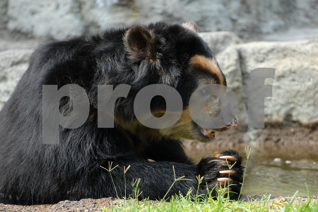Spectacled Praying Bear