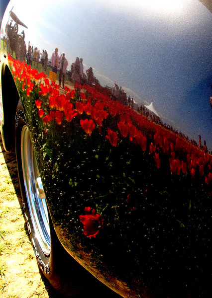 Tulip fields appear as skin on the fender of this 1950 Pickup at the Tulip festival in Woodburn Oregon..Wooden shoe Tulip fest
