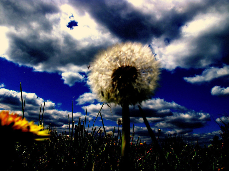 This dandelion seems to float below the cloud specked sky.