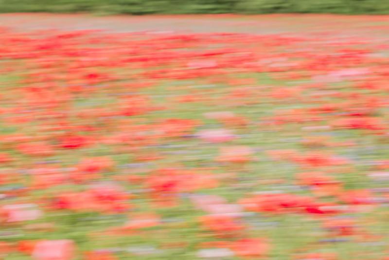 Poppy Field Blur