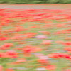 Poppy Field Blur