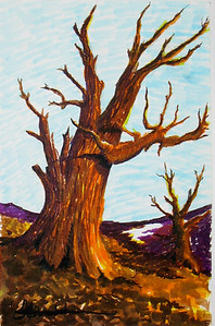 """Old Bristlecone"" 11""x14"" Felt Pen on Jefferson Gloss Cover"