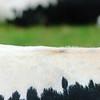 Fell, Rücken, Vogesenrind, Vosgienne, gefährdete alte Haustierrasse, rare cow breed from the Vosges mountains, Elsaß-Vogesen, Frankreich, France