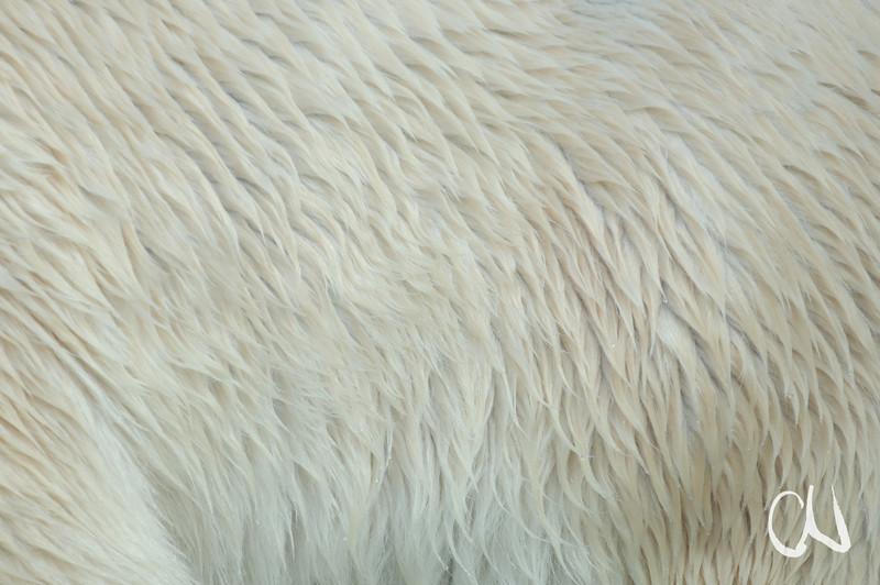 Eisbär, Fell, Polar bear, fur, Wilhelma, Zoo, Captive, Stuttgart, Deutschland