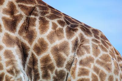 Giraffe, Giraffa camelopardalis, Fell, skin, Ithala Game Reserve, KwaZulu Natal, Südafrika, South-Africa.