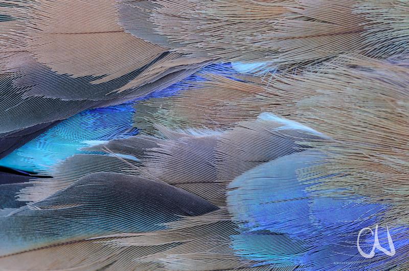 Nahaufnahme der Federn einer Gabelracke, Coracias caudata, Straßenopfer, Flügel, Schwungfeder, Mapungubwe Nationalpark, Limpopo, Südafrika, feather detail of Lilac-breasted Roller, road kill, South Africa