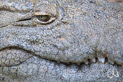 Nile Crocodile, Crocodylus niloticus, Nilkrokodil, eye, Auge, Captive, St. Lucia, Südafrika, South Africa, St. Lucia, Südafrika, South Africa