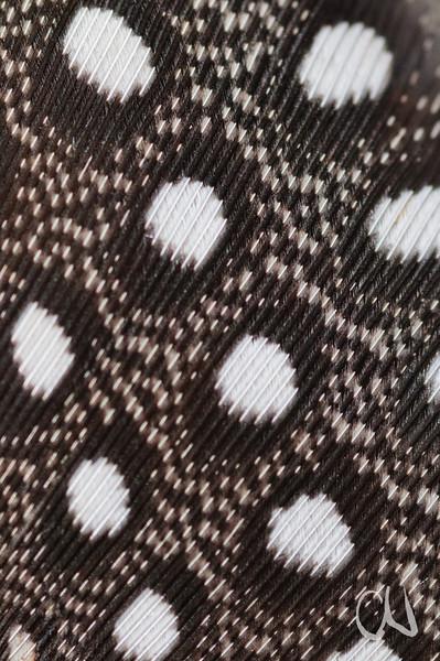 Nahansicht einer Perlhuhnfeder,  Helmperlhuhn, (Numida meleagris), Skuilkranskoppie, Pretoria, , Südafrika, [en] detail of feather, Helmeted Guineafowl, South Africa