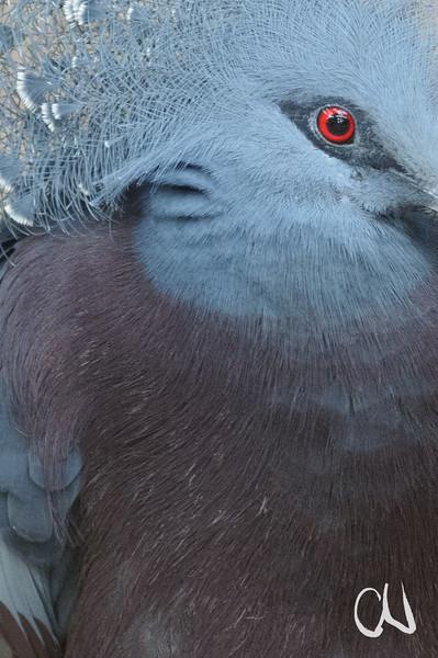 Fächertaube, Goura victoria, Victoria Crowned Pigeon, Wilhelma, Zoologischer Garten, Stuttgart, Deutschland, Captive, Zoological Garden, Germany